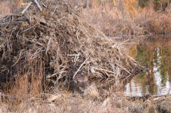 Beaver pauses for a snack beside lodge (lower middle, at water level), Tudor-Muldoon curve.