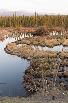 Beaver dam and lodge in wetlands just south of the Tudor-Muldoon curve.